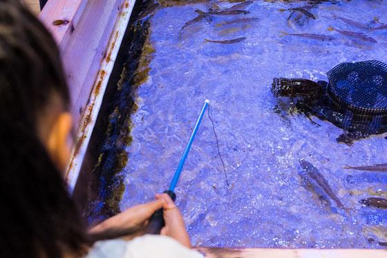 釣り風水槽で魚にエサをあげている様子